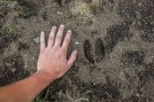 Cinghiale (Wild Boar) tracks