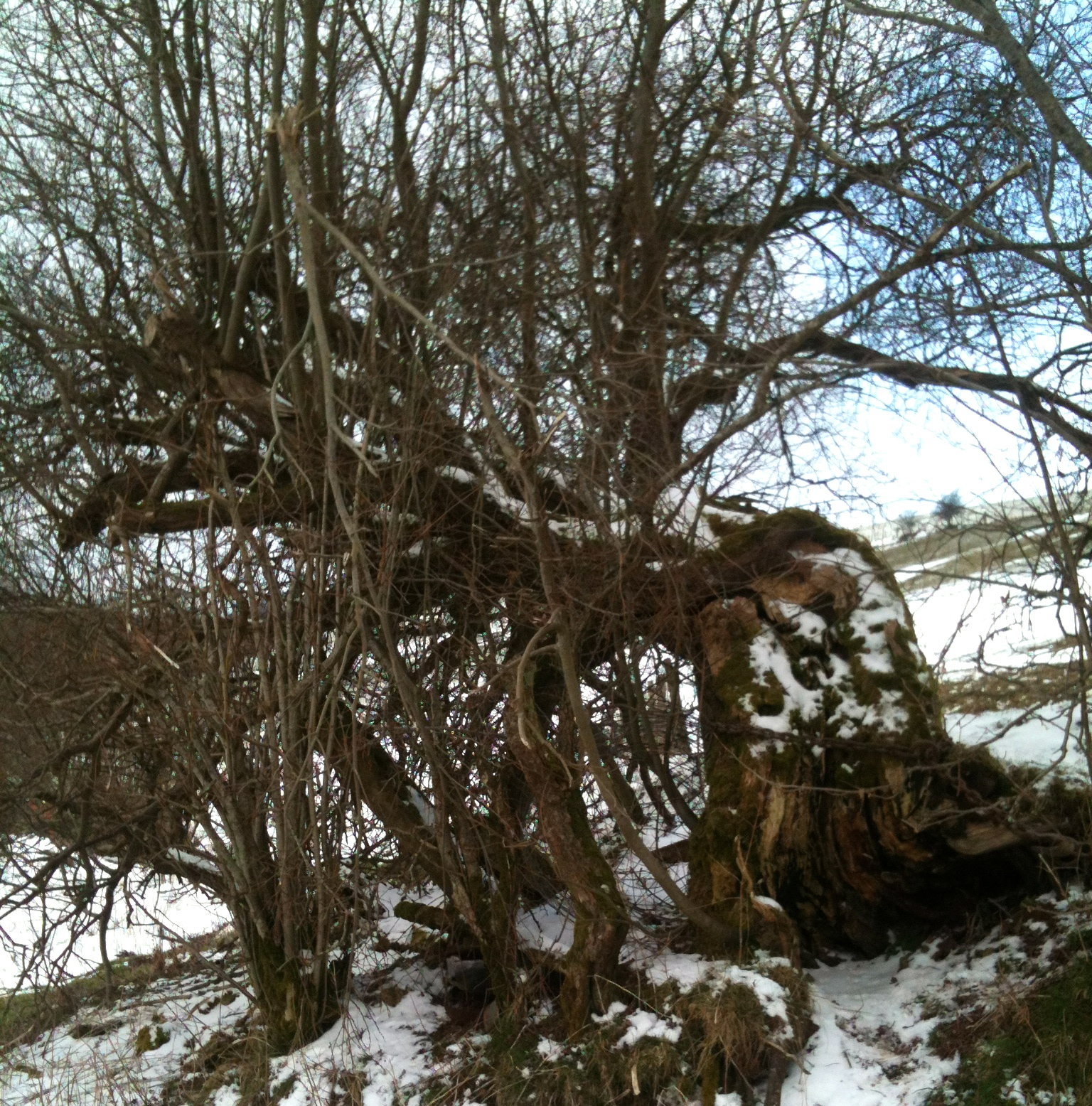 Old Man Willow lends a trunk for the Winch