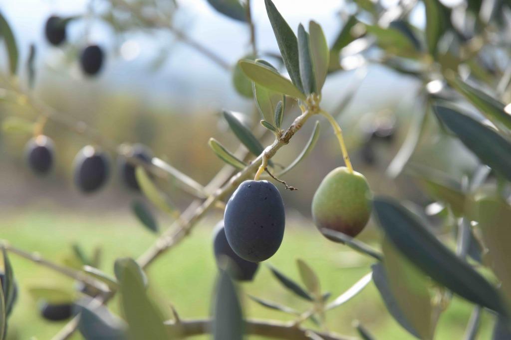 olivegrande
